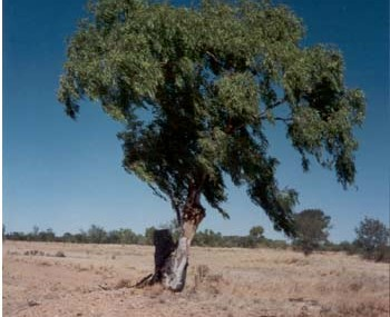 An example of the Cabbage Leaf Gum which thrives in the desert area around Muttaburra.