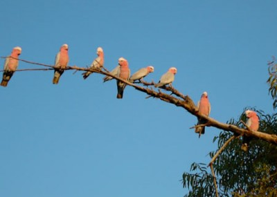 Galahs are one of Australia's most beautiful parrots and are found in all states. It prefers open grasslands and woodland. Galahs live for about 20 years in the wild and mate for life.