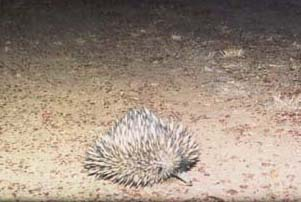 One of Australia's unique animals - an echidna, on the side of a road near Muttaburra.