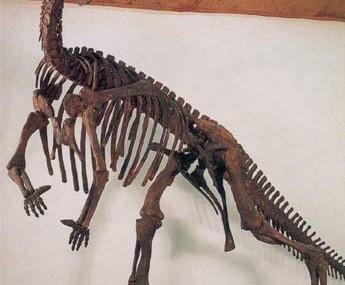 Muttaburrasaurus skeleton